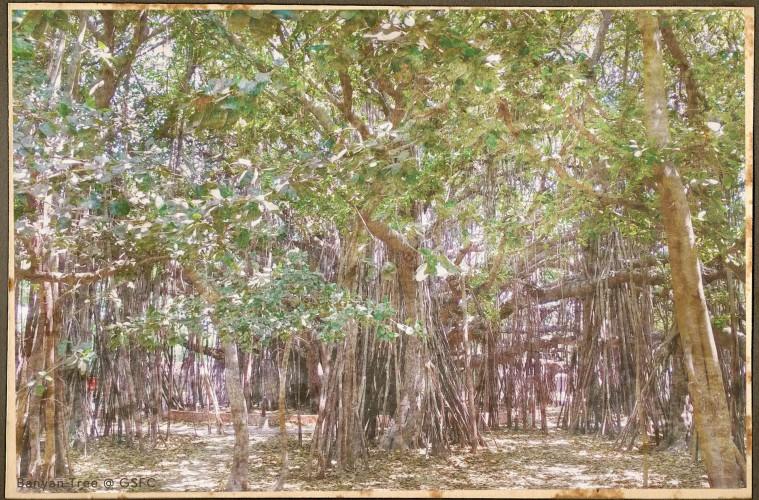 Banyan Tree at GSFC