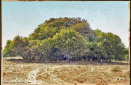 Sayaji Vad (Banyan Tree)